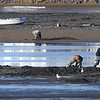 BRYAN EATON/Staff Photo. Seagulls await their turn as clam diggers harvest the Basin on Plum Island earlier this week.