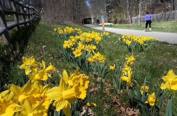 BRYAN EATON/Staff Photo. There are hundreds of daffodils in bloom along the Newburyport rail trail, thanks to an effort by the Newburyport Garden Club to honor one of its beloved and deceased members.