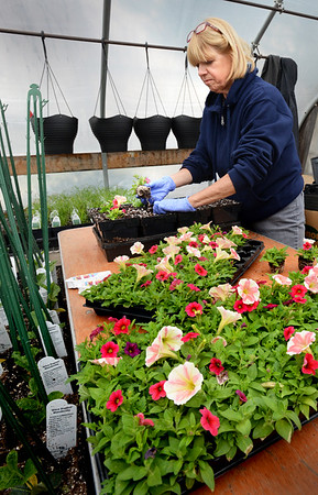 BRYAN EATON/Staff Photo. Although snow covered the ground last Monday  there was a lot of activity in area greenhouses. There still is as Cindy Lawton transplanted a petunia mix of petunias at Pettengill Farm in Salisbury yesterday.