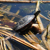 JIM VAIKNORAS/Staff photo A turtle suns itself amoung the reeds at teh pond at Amesbury Park early Sunday morning.