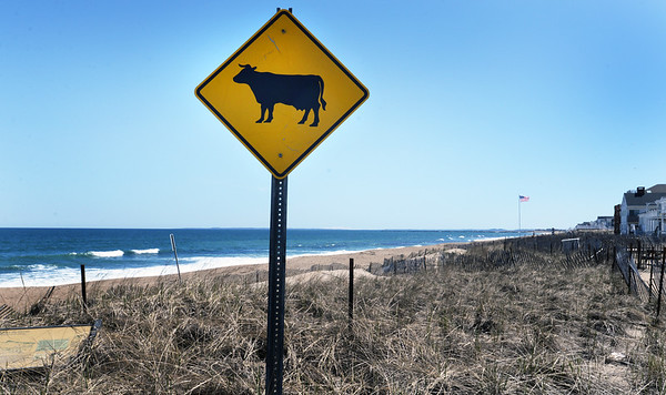 BRYAN EATON/Staff Photo. The occasional equines can be seen at Salisbury Beach carrying riders, but it's unknown if any bovines have been seen crossing at Ocean Front South.