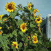Amesbury: Loads of sunflowers are in bloom at the Amesbury Community Garden at Battis Farm on South Hampton Road. Bryan Eaton/Staff Photo