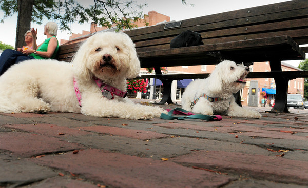 """Newburyport: Chandler, left, and Joey take it low to the ground in yesterday's heat and humidity in Newburyport's Market Square, though many downtown merchants put out water for dogs. They and their """"owner"""" Gerald Couper of Pepperell like to visit Newburyport and Plum Island and are looking to move this way sometime. Bryan Eaton/Staff Photo"""