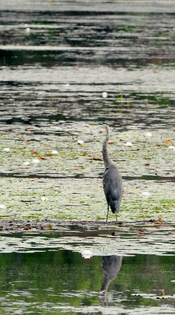 Amesbury: A great blue heron scouts out Tuxbury Pond in Amesbury late Tuesday morning. Bryan Eaton/Staff Photo