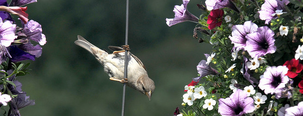 Amesbury: A finch perches amounst some morning glories at Cider Hill Farms Friday. Jim Vaiknoras/staff photo