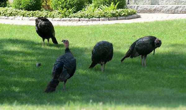 JIM VAIKNORAS/staff photo A quartet of turkeys search for food along Main Street in Newburyport Sunday morning.