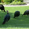 JIM VAIKNORAS/staff photo A quartet of turkeys search for food along Main Street in Newburyport Sunday morning.