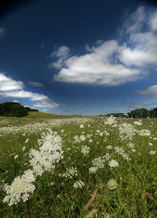 BRYAN EATON/Staff Photo. Queen Anne's Lace sways at Woodsom Farm in Amesbury as wind and sunny skies replaced Wednesday's heavy rain.