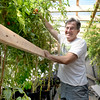 BRYAN EATON/Staff photo. Amesbury resident Ed Tivnan grabs a tomato grown in his aquaponic system which recycles water for his plants grown in pots reducing greatly the need for constant water supply.
