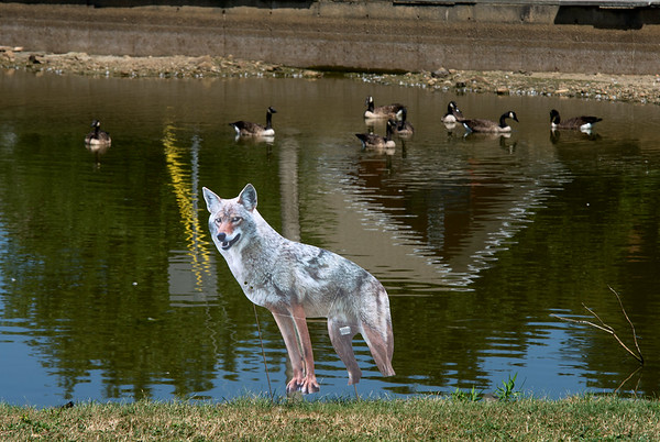 JIM VAIKNORAS/Staff photo A gaggle of geese seem unimpressed by a cut out of a coyote at the Upper Green in Newbury.