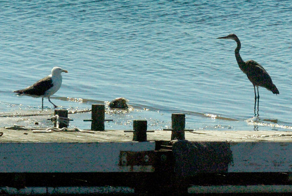 """BRYAN EATON/Staff photo. In what could be called an """"avian standoff"""" a seagull and great blue heron approach a ball of possible food morsels attached to some rope on Tuesday morning. They were below the Salisbury Town Pier at Ring's Island."""