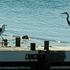 "BRYAN EATON/Staff photo. In what could be called an ""avian standoff"" a seagull and great blue heron approach a ball of possible food morsels attached to some rope on Tuesday morning. They were below the Salisbury Town Pier at Ring's Island."