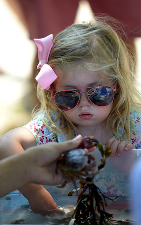 JIM VAIKNORAS/Staff photo Hadley Oslin, 2, of West Newbury checks out sea life at the touch tank from the Joppa Flats Audobon Center at Family Day in Maudslay Saturday.