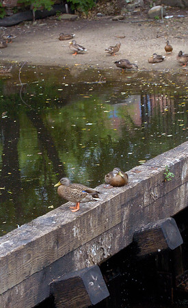 BRYAN EATON/Staff photo. Mallards sit on the top of the dam in Amesbury's Upper Millyard where the Powow River is usually spilling over, not now due to lack of rainfall.