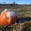 BRYAN EATON/Staff photo. The frost is certainly on this leftover pumpkin on a plowed-under patch at Bartlett's Farm on Congress Street in Salisbury. Frosty is the word as in arctic blast comes in Thursday night.