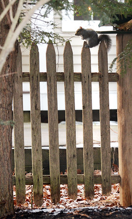 BRYAN EATON/Staff photo. A gray squirrel rests on a picket fence off Spofford Street in Newburyport on Tuesday after a morning of foraging in the woods nearby.