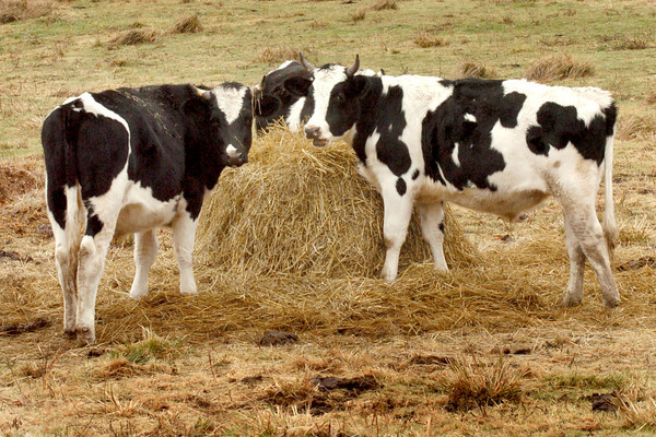 Salisbury: Cows munch on a pile of hay at Bartlett's Farm on Congress Street in Salisbury even though there's still some green grass for them to forage for. Bryan Eaton/Staff Photo