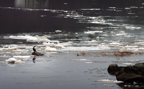 Amesbury: Ice floes flow upriver past this cormorant next to Deer Island in Amesbury on Monday. Bryan Eaton/Staff Photo
