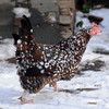 Amesbury: A chicken runs in the snow at an Amesbury residence. Jim Vaiknoras/staff photo