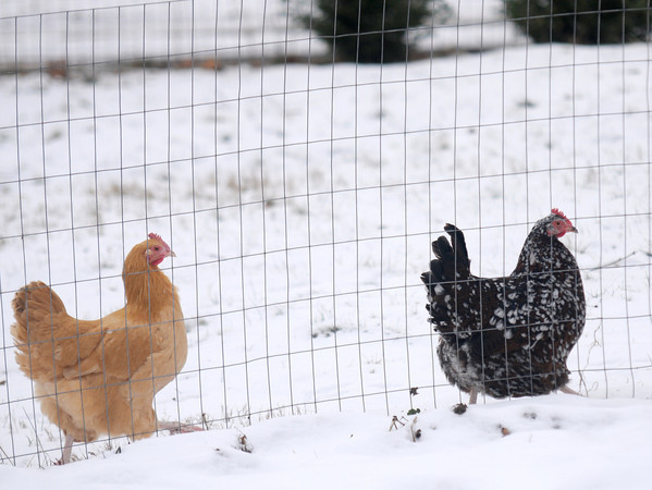 Amesbury: Two chicken's run in the snow at an Amesbury residence. Jim Vaiknoras/staff photo