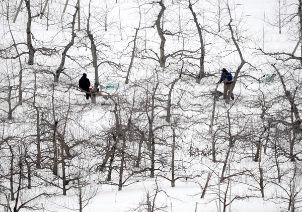 Amesbury: Workers prune apple trees at Cider Hill Farm in Amesbury on Tuesday before the snow started falling. Bryan Eaton/Staff Photo