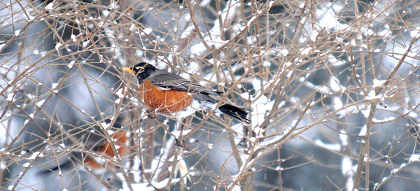 newburyport: A robin looks for berries in the snow off Pond Street in newburyport Saturday afternoon. Jim Vaiknoras/staff photo