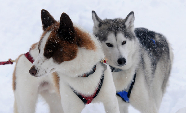 Merrimac: Huskies Herbie and Laika who belong to Todd Campbell had no problem with teh snow at the Lake Attitach Winterfest Saturday in Merrimac. Jim Vaiknoras/staff photo