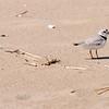 JIM VAIKNORAS/Staff photo  A piping plover walks along the beach on Plum Island.