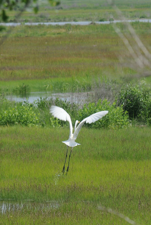 JIM VAIKNORAS/Staff photo An egret takes off in the marsh along the Plum Island Turnpike in Newburyport Monday .
