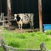 BRYAN EATON/ Staff Photo. A cow peers out from a barn at the Pender Farm in Amesbury on Monday after the rain let up which should make its pasture greener.