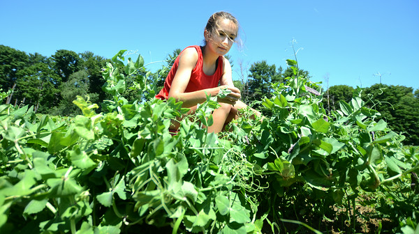 JIM VAIKNORAS/Staff photo Kelly McCarthy an employee at the Colby Farm picks purple peas at the Spencer-Pierce Little farm in Newbury Sunday morning.