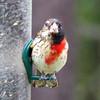 Gynandromorphh Rose-breasted Grosbeak