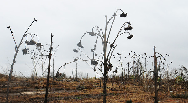 Amesbury: Rotted sunflowers still hang on their stalks in a dreary scene at the Amesbury Community Gardens on South Hampton Road yesterday. There are still patches of green from winter hardy vegetables at the garden which is closing in on 20 years of existence in a year or two, and one of the first such gardens in the area. Bryan Eaton/Staff Photo