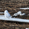Salisbury: Snowy owls are still causing some excitement in the area, many of them sighted in the area this year. This one in the marsh at Salisbury Beach State Reservation on Monday morningn brought many birdwatchers. Bryan Eaton/Staff Photo