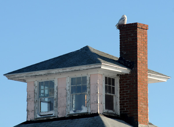 newbury: A snowy white owls rest on the chimney of the Pink House on the Plum Island Turnpike in newbury Saturdat afternoon. Jim Vaiknoras/staff photo