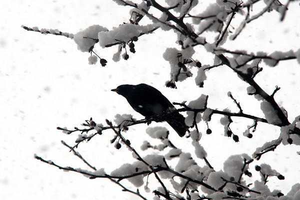 Amesbury: A blackbird looks for to make a meal of the berries along Main Street in Amesbury during Saturday's snow. Jim Vaiknoras/staff photo