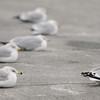 JIM VAIKNORAS/Staff photo Gulls hunker down in the cold winds Saturday at Cashman Park in Newburyport.