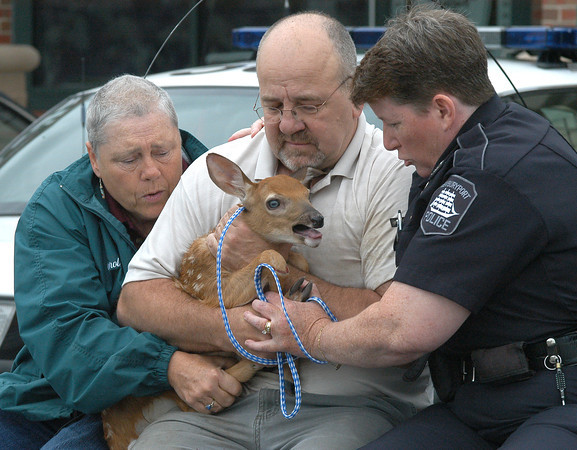 Newburyport: <br /> Animal Control Officer Carol Larocque, Ray Levesque and officer Nora Duggan carry a baby deer to safety after the animal made a surprise appearance in Levesque's Port Plaza store, Curtains and More.<br /> Photo by Jim Vaiknoras/Newburyport Daily News. Thursday, July 7, 2005