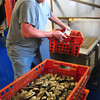 Newburyport: Mike Hardy removes clams from an initial rinsing as they arrive at the purification plant on Plum Island. They will then be put into tanks for a couple days so they filter out pollutants from where they were dug. Bryan Eaton/Staff Photo