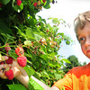 Amesbury: Not only are blueberries in season right now at area farms, raspberries are abundant as well. Logan Stogryn of Kingston, NH, whose parents grew up in Amesbury, picks some of the red berries at Cider Hill Farm in Amesbury. Bryan Eaton/Staff Photo