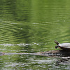 Amesbury: A painted turtle suns itself on a log at the pond at Amesbury Town Park on Monday afternoon. Bryan Eaton/Staff Photo