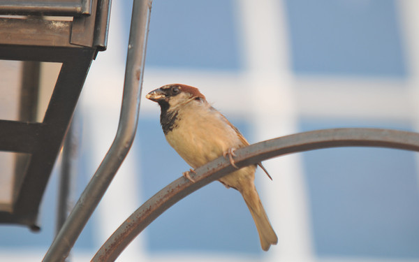 Newburyport  A finch perches on a lamppost on Inn Street in newburyport Friday afternoon. jim Vaiknoras/staff photo