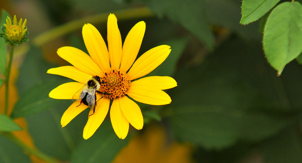 Newburyport: A bee gathers pollen from a sunflower on Harris Street in Newburyport Friday morning. Jim Vaiknoras/staff photo