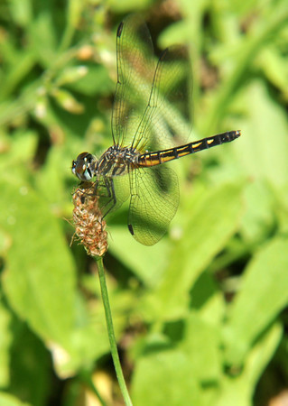 Newbury: A dragonfly rest on the point of a flower near the Upper Green in Newbury. Jim Vaiknoras/staff photo