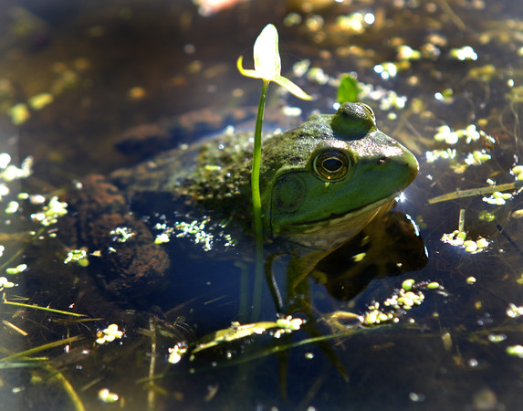 JIM VAIKNORAS/staff photo Morning light shines on a frog as it sits half submerged in the pond at Amesbury Park Monday.