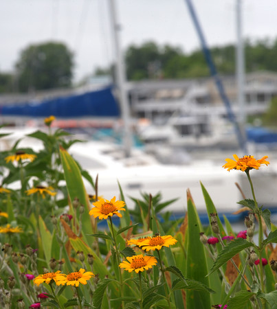 JIM VAIKNORAS/Staff photo Coreopsis grow in the Peace Garden along the Boardwalk in Newburyport with sailboats gliding by in the back ground.