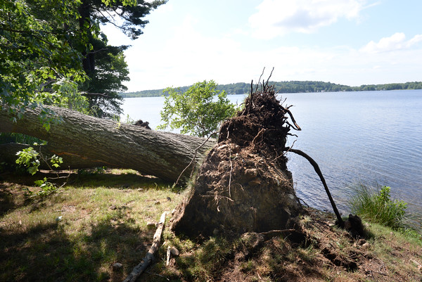 BRYAN EATON/Staff photo. One of several trees uprooted along the bank of Lake Attitash.