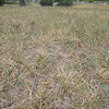 JIM VAIKNORAS/Staff photo Brown grass and bare spots at the Bartlet Mall caused by the resent drought.