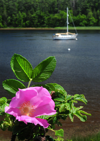 Amesbury: Many flowers are in bloom now, like rhododendrons, and beach roses as this one along the Merrimack River in Amesbury near Hatter's Point Condominiums