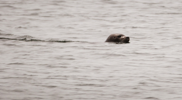Salisbury: Harbor seals are usually basking in the rocks off Salisbury Beach State Reservation, but during yesterday's high tide, this one was swimming alongin the Merrimack River. Bryan Eaton/Staff Photo